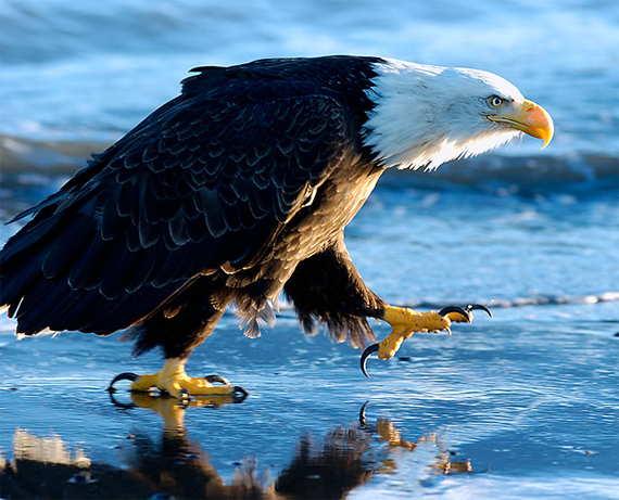 Loading Bald Eagle